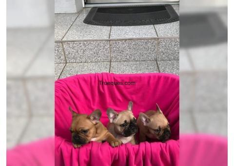 Bulldog francés. cachorros pura raza por bulldog francés. cachorros pura raza