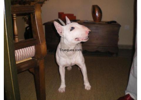 Bull terrier por bull dog frances
