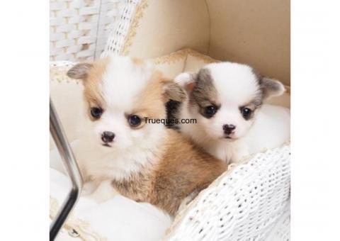Cachorros walsh gorgi para adopcion por venta