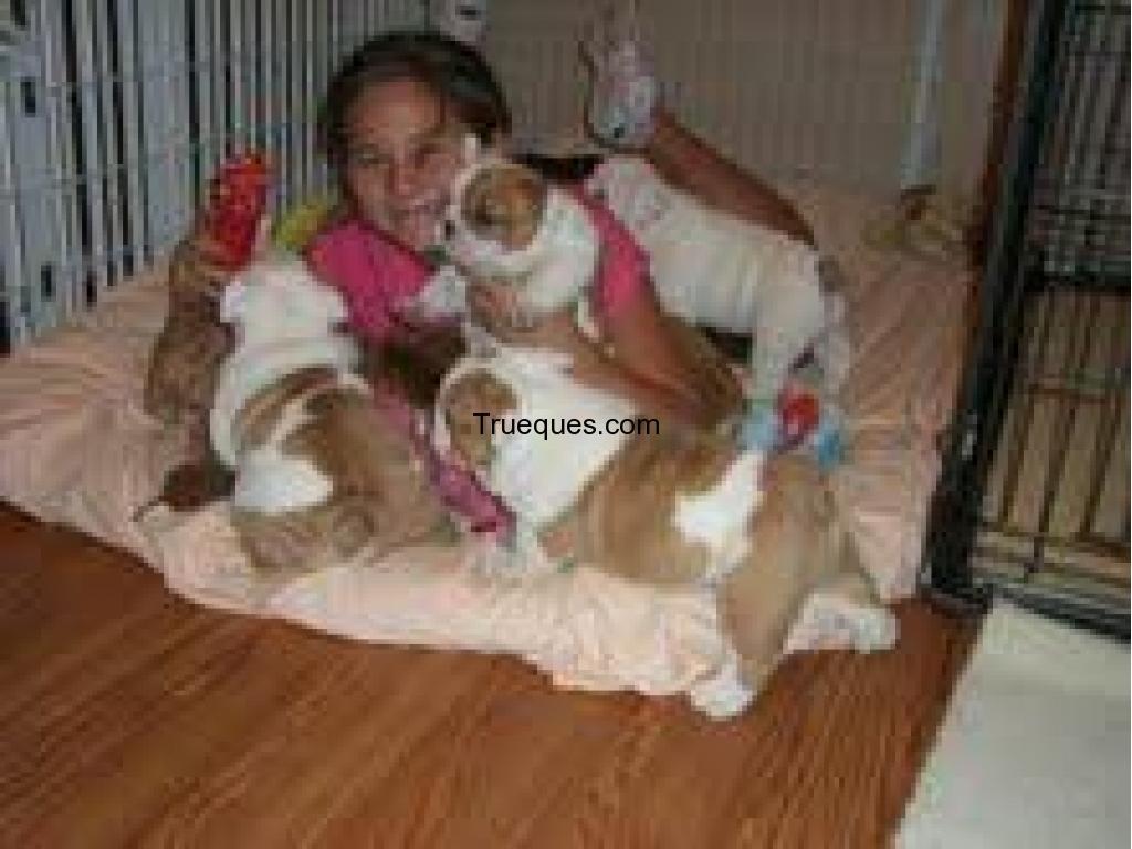 Bulldog inglés cachorros para la adopción por bulldog inglés cachorros para la adopción - 1/1