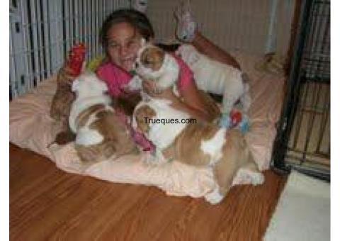 Bulldog inglés cachorros para la adopción por bulldog inglés cachorros para la adopción