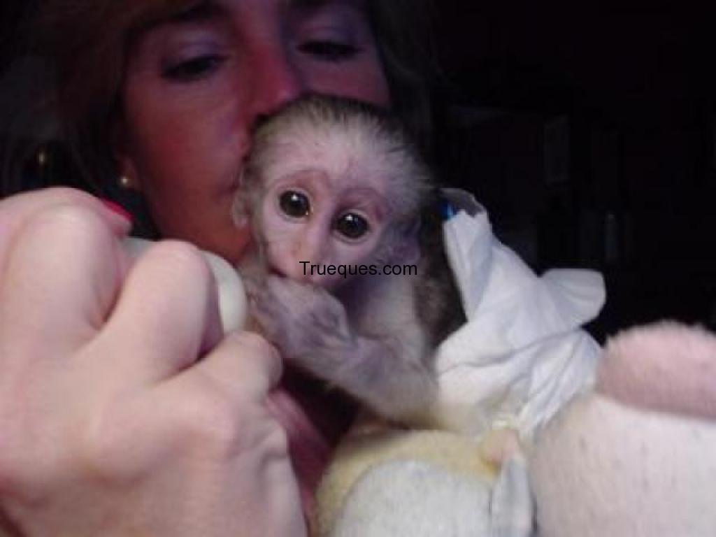 Bebe mono capuchino para su adopción por bebe mono capuchino para su adopción - 1/1