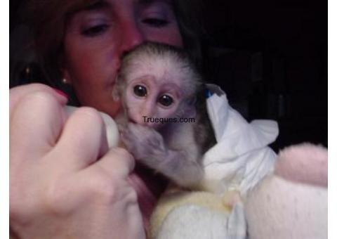 Bebe mono capuchino para su adopción por bebe mono capuchino para su adopción