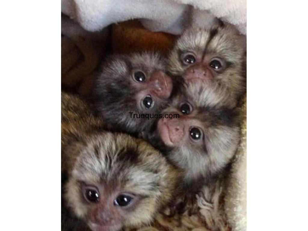 Bebé monos tití pigmeo disposible por bebé monos tití pigmeo disposible - 1/1