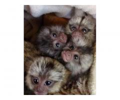 Bebé monos tití pigmeo disposible por bebé monos tití pigmeo disposible