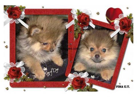 Pomerania toys