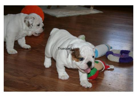 Preciosos cachorros de bulldog ingles